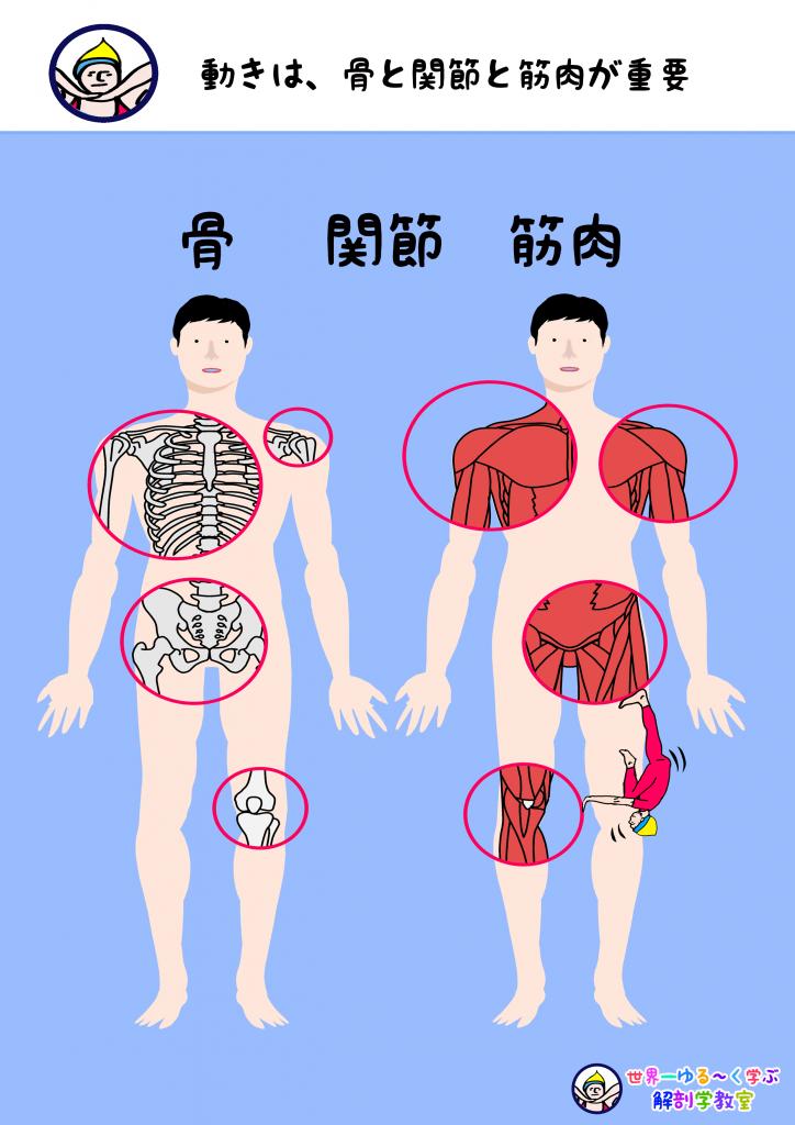 動きは骨関節筋肉が重要