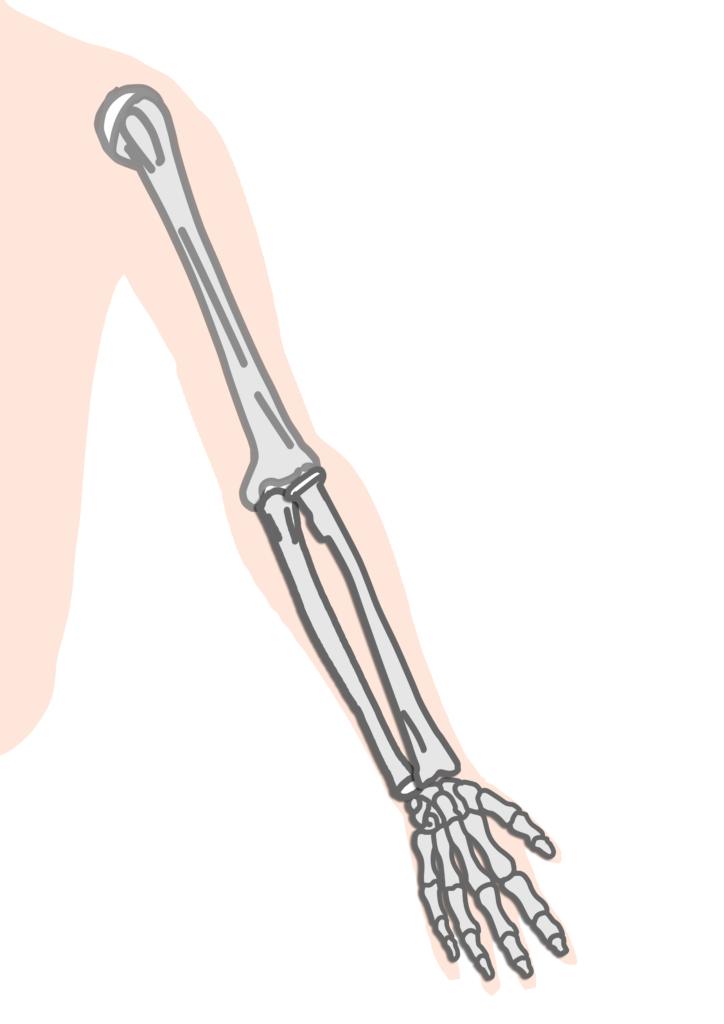 上腕骨、橈骨、尺骨