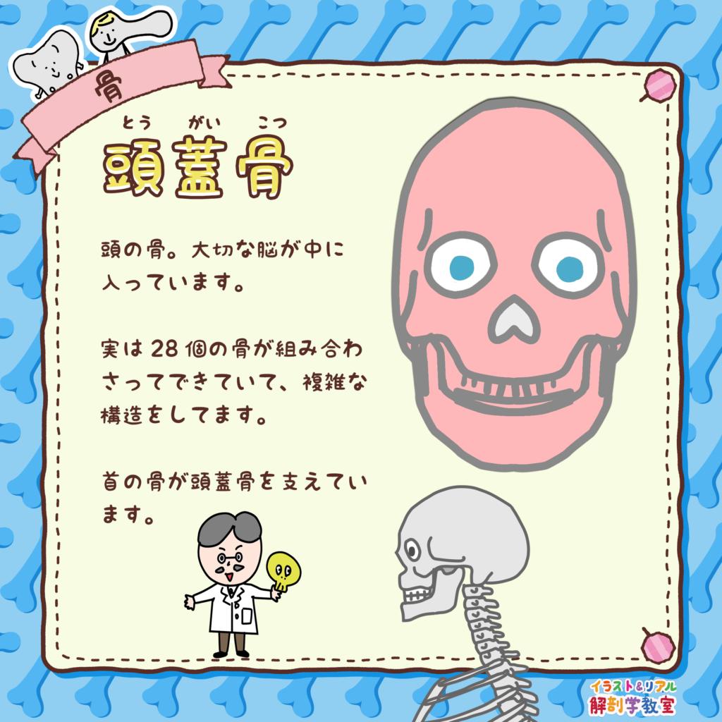 頭蓋骨(とうがいこつ)、ずがいこつ