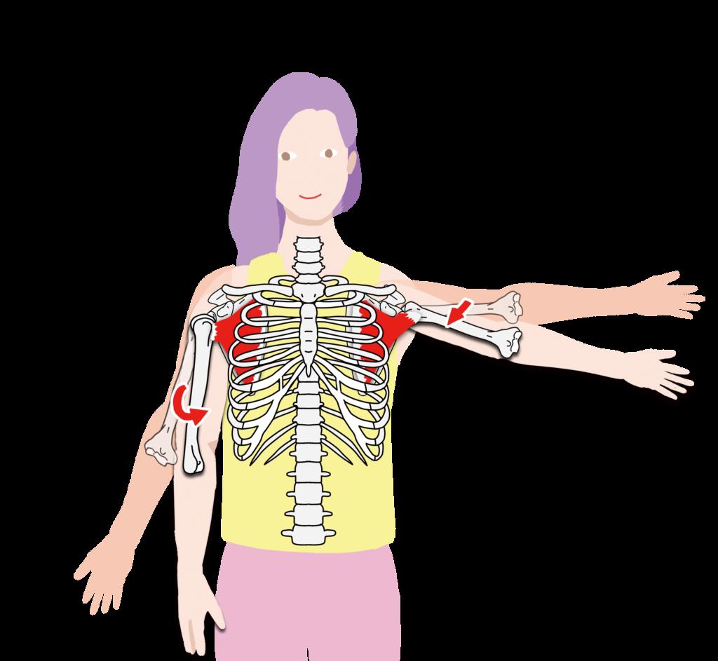 肩甲下筋 作用