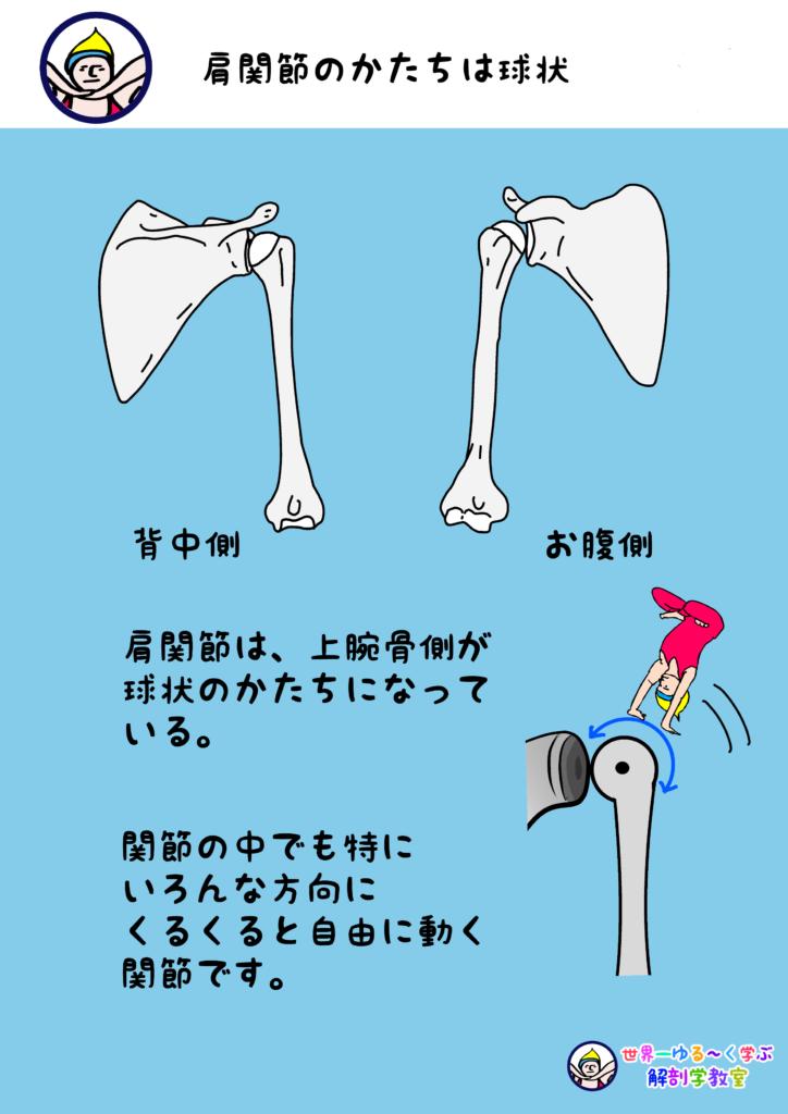 肩関節(けんかんせつ)
