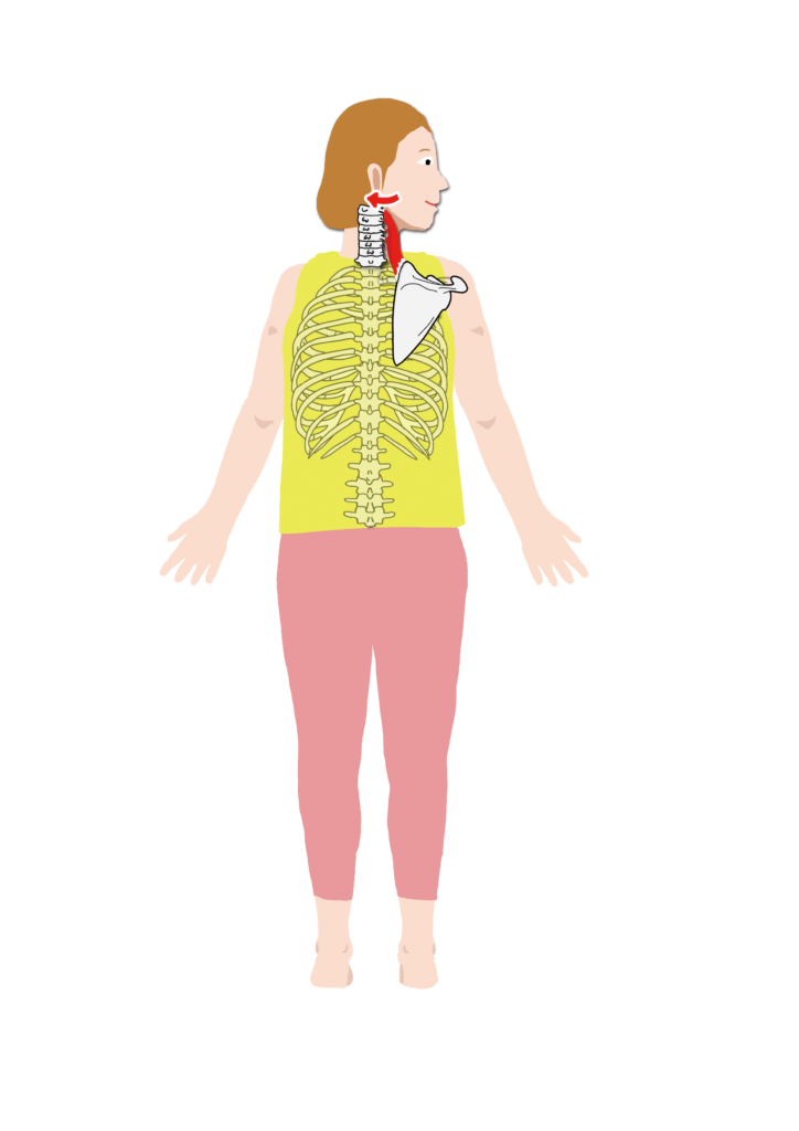 肩甲挙筋の作用