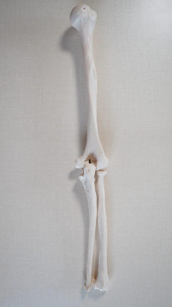 上腕骨(じょうわんこつ) 尺骨(しゃっこつ) 橈骨(とうこつ)