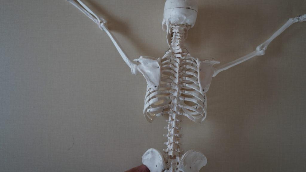 背骨(せぼね)肋骨(ろっこつ)