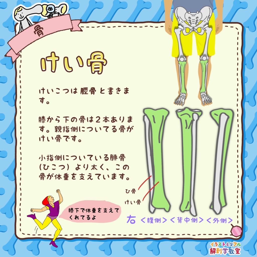 脛骨(けいこつ)