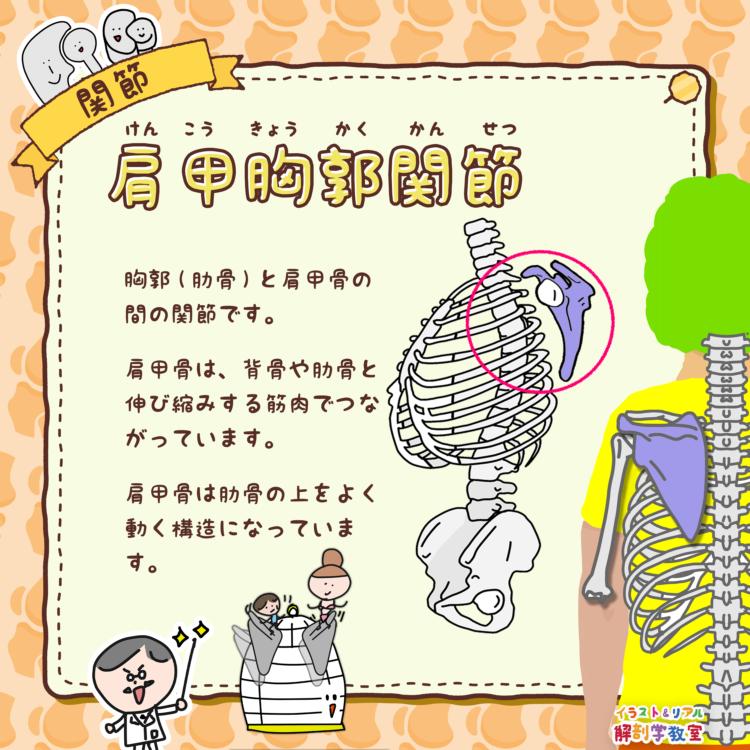 肩甲胸郭関節(けんこうきょうかくかんせつ)
