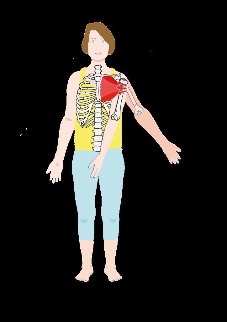 大胸筋の作用
