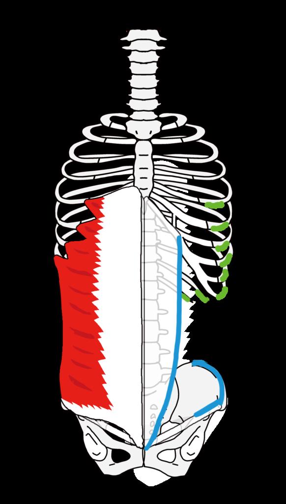 外腹斜筋の起始停止 上方向に広がる方向の筋線維
