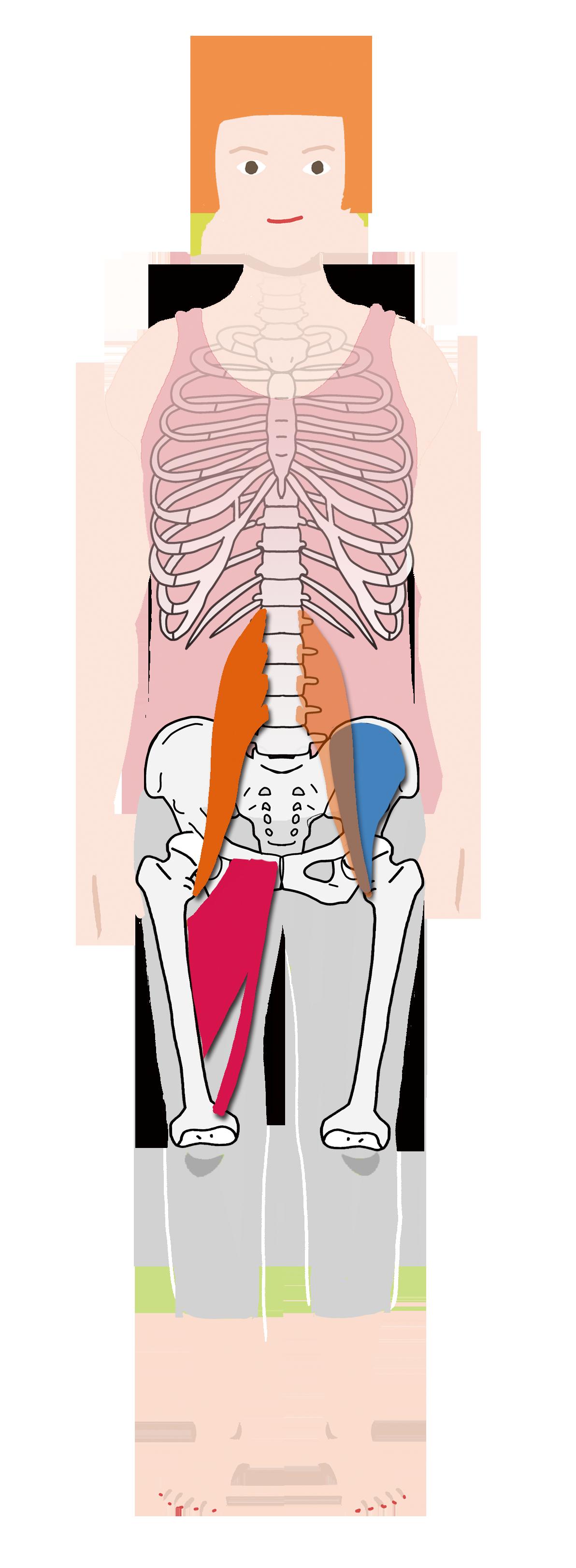 解剖 股関節