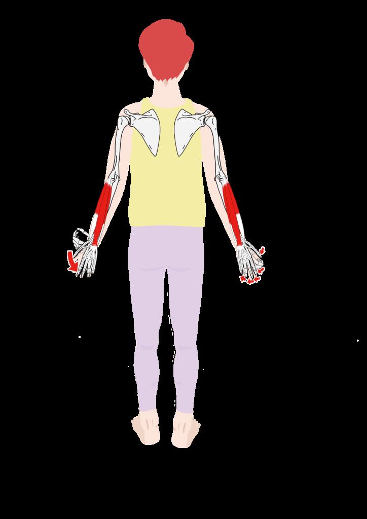 前腕伸筋群 作用