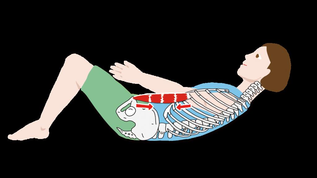 腹直筋の作用