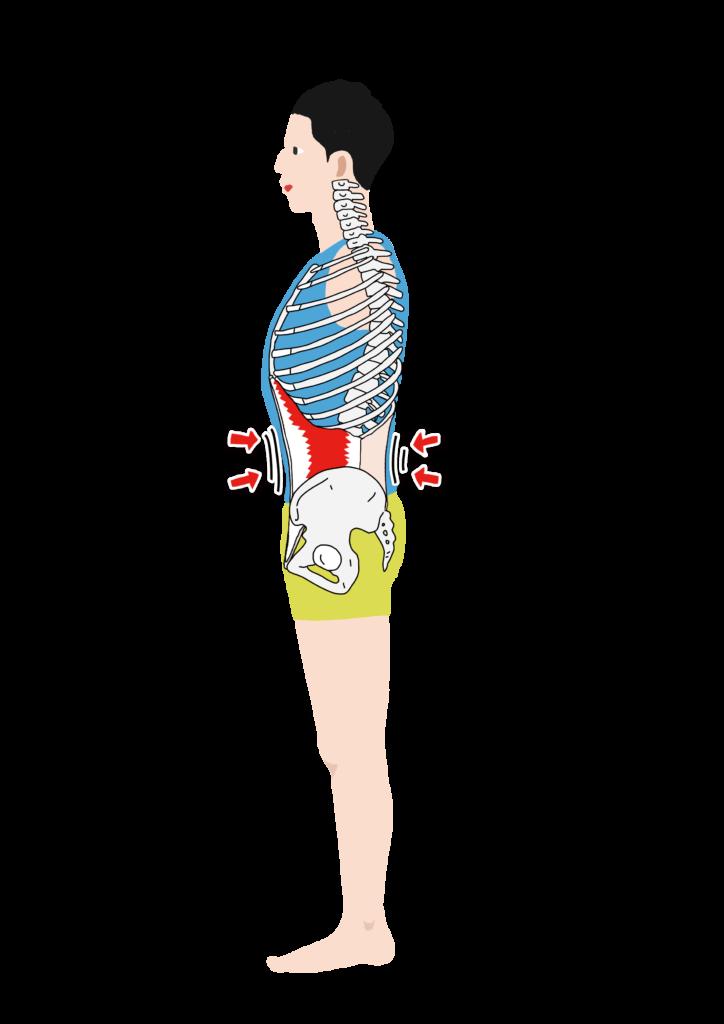 腹横筋の作用