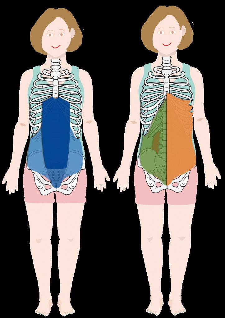 腹横筋、腹直筋、内腹斜筋、外腹斜筋、腰方形筋