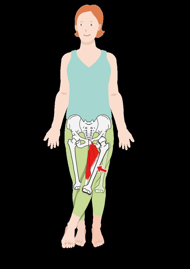 股関節内転筋群の作用