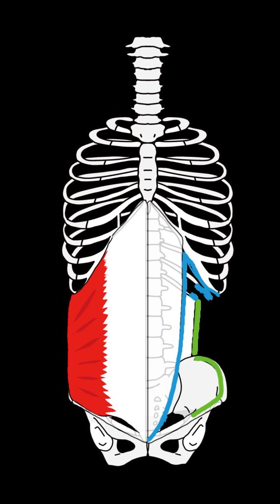 内腹斜筋の起始停止 末広がり方向の筋線維