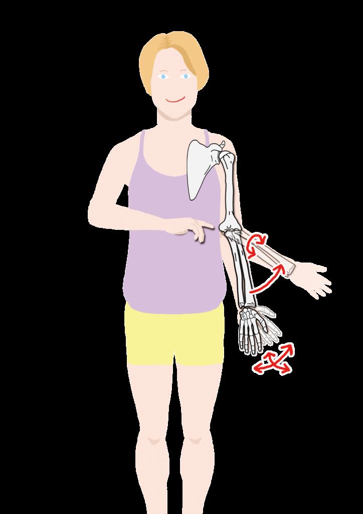 肩甲骨、上腕骨、尺骨、橈骨、手の骨