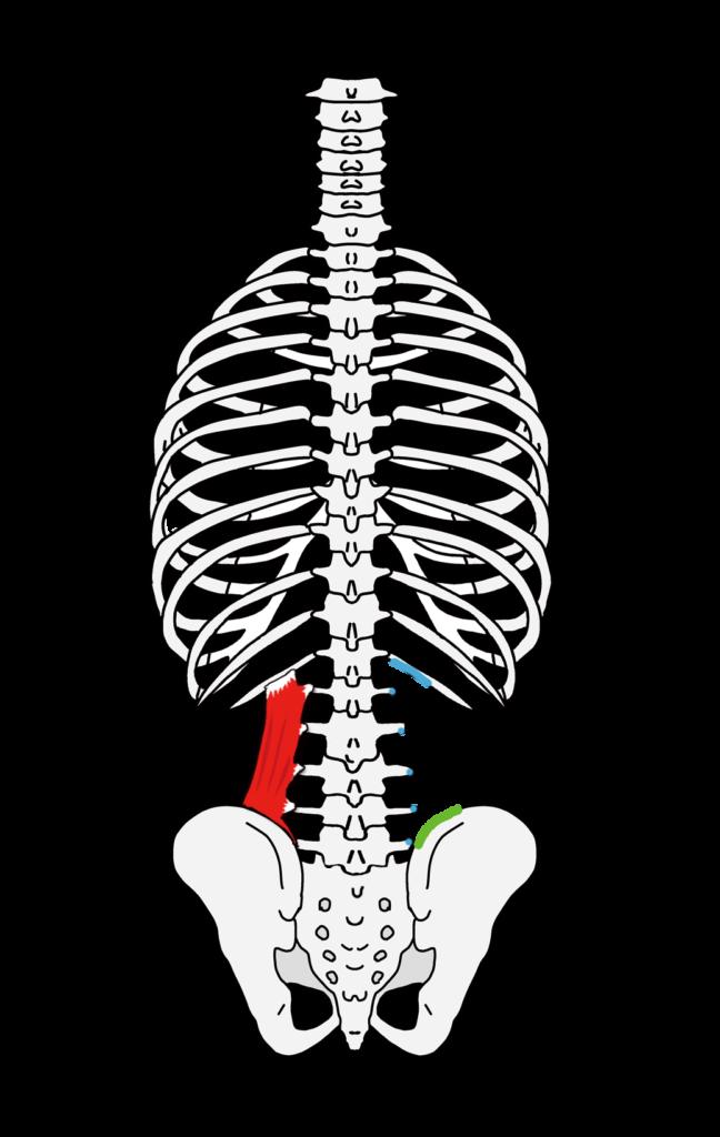腰方形筋の起始停止