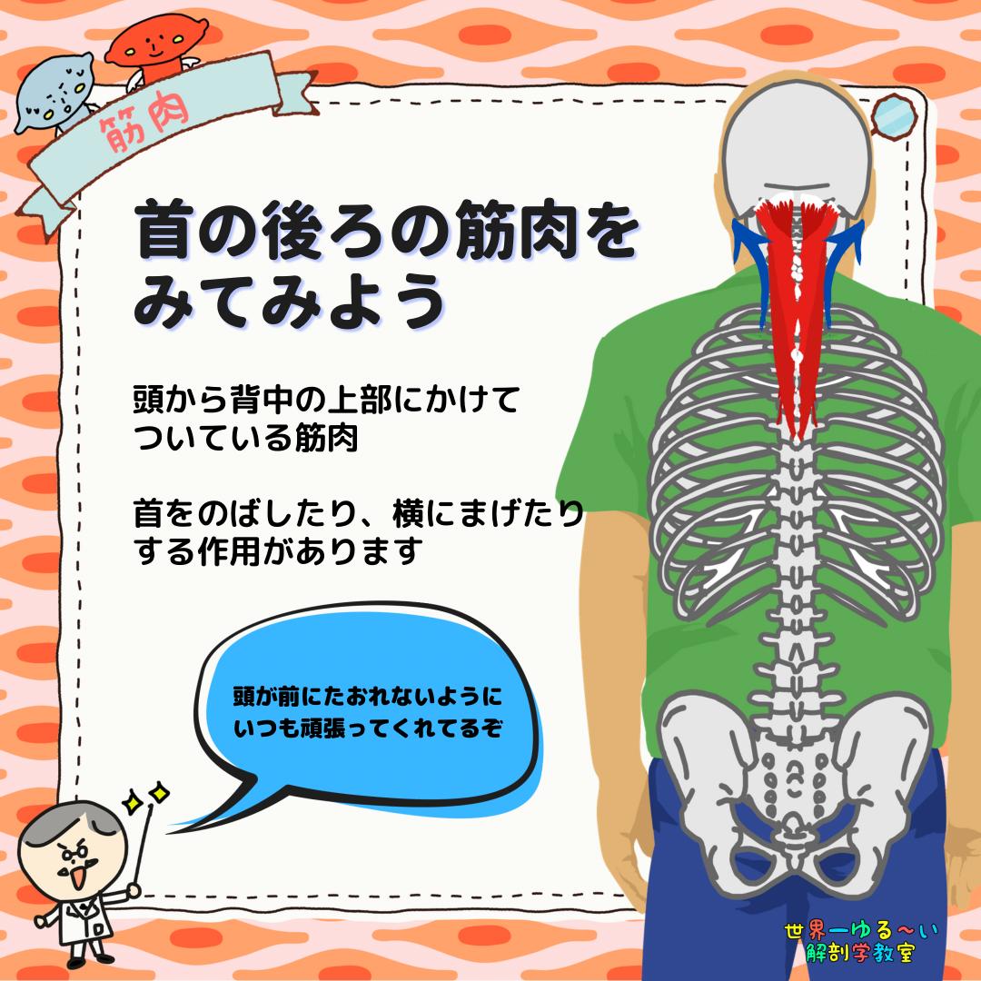 首の後ろの筋肉