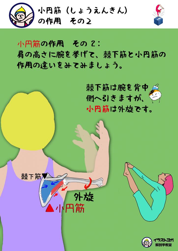 解剖学ヨガ|小円筋