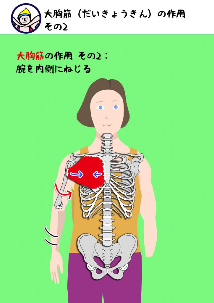 大胸筋|解剖学ヨガ