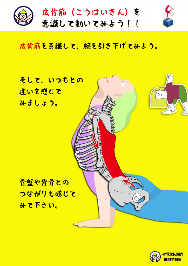 広背筋|ヨガ解剖学
