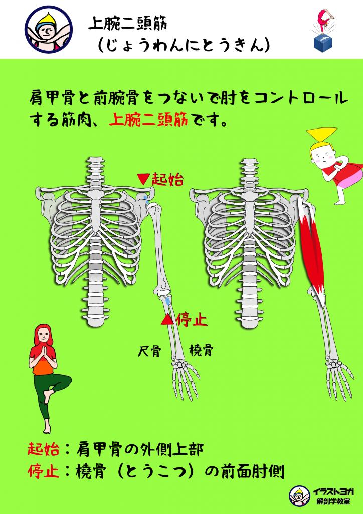 上腕二頭筋 解剖学
