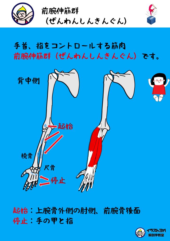 前腕伸筋群 解剖学
