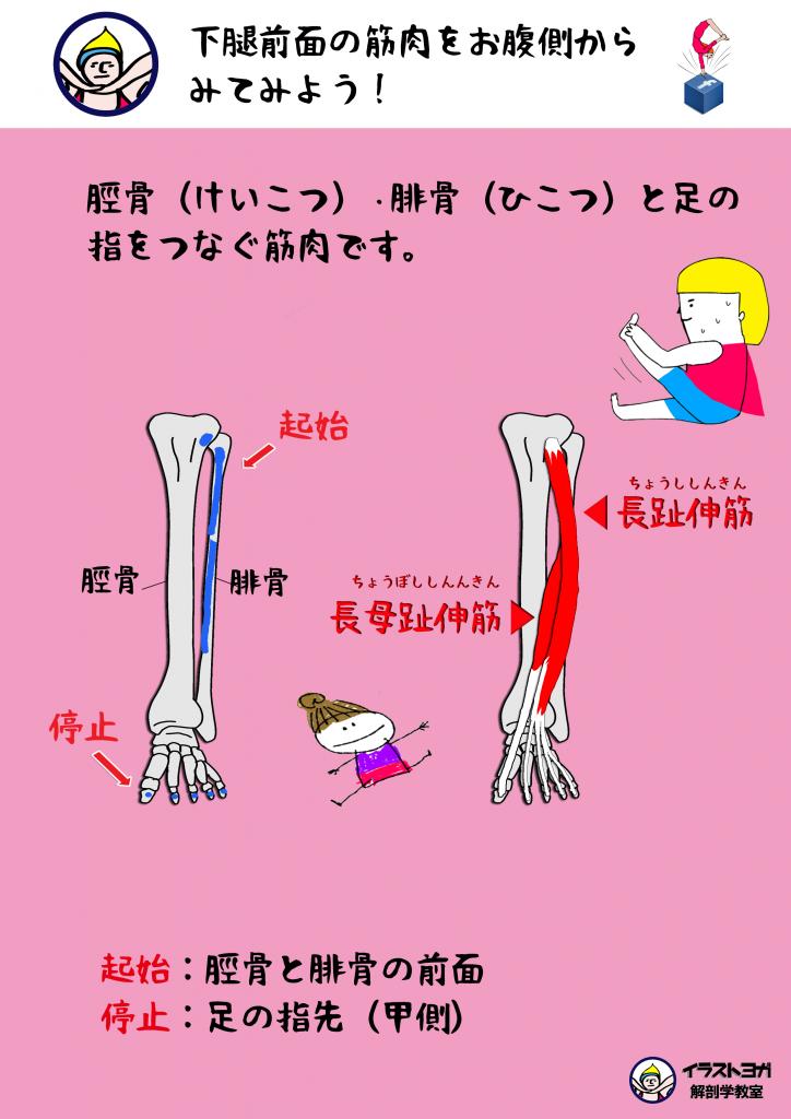 ヨガ解剖学イラスト